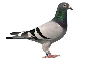 Worlds most expensive pigeon